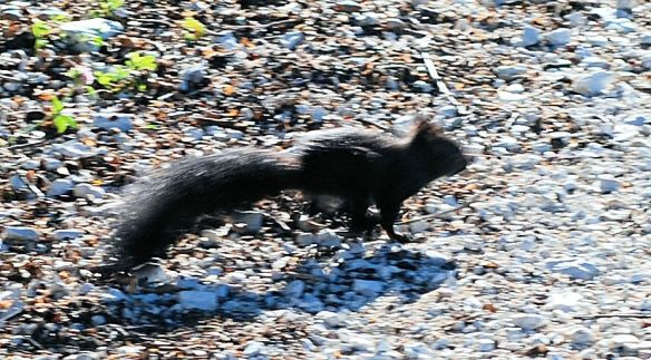black-squirrel-running