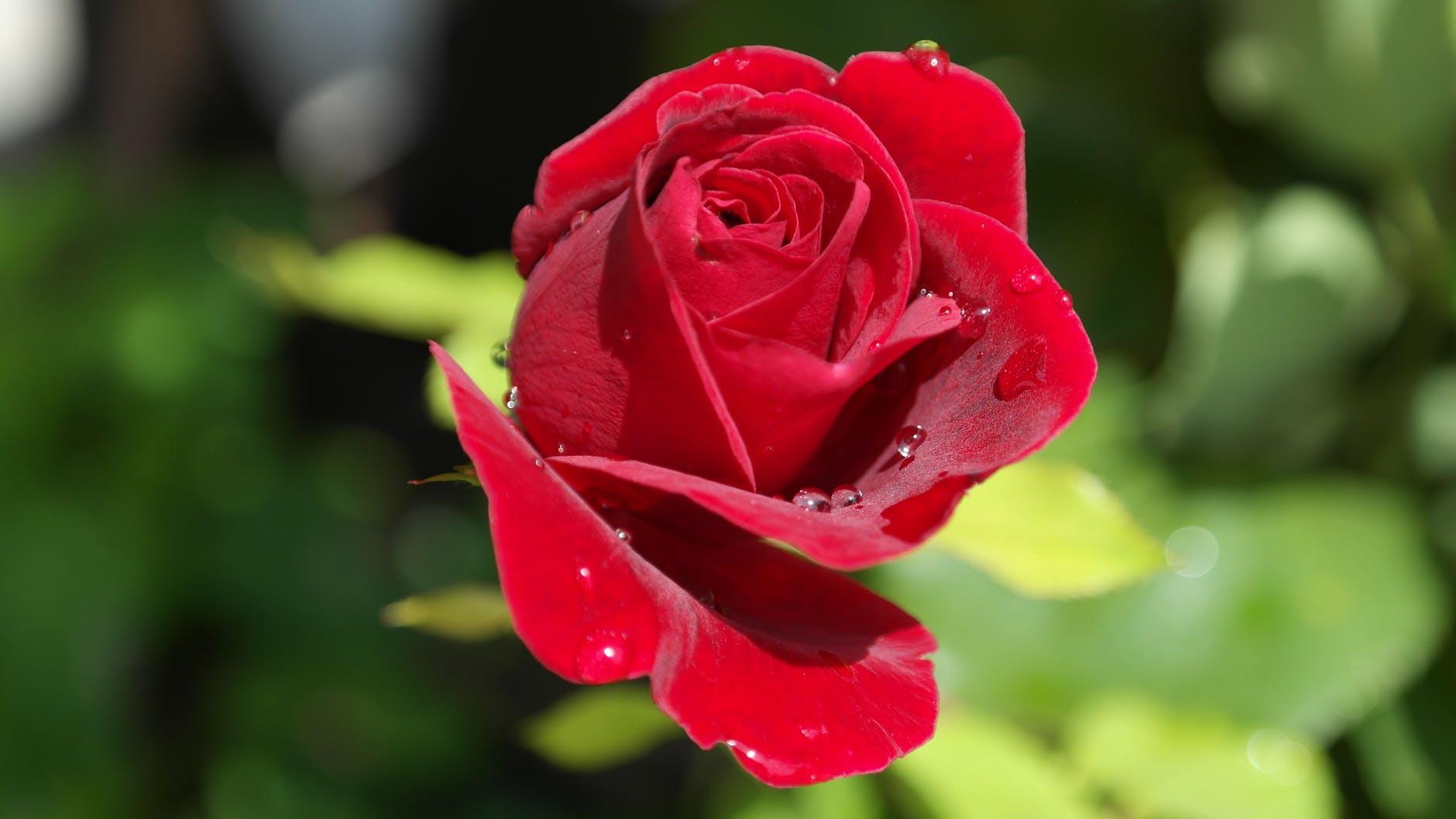 red love garden plant